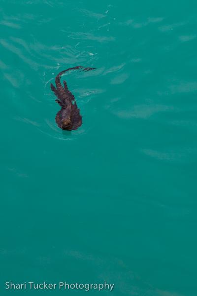 Galapagos Islands, Marine Iguana