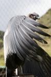 condor on its perch
